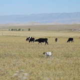 Tianshan - Troupeau de vaches