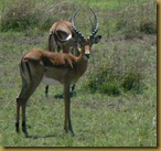 Masai Mara - Grant's gazelle