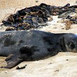 Sleepy Sea Lion at Waipapa Point - Catlins, New Zealand