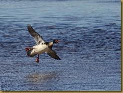bl Red-brested Merganser flight_ROT6276-Edit  NIKON D3S June 17, 2011