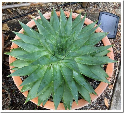 120521_Aloe-polyphylla_01