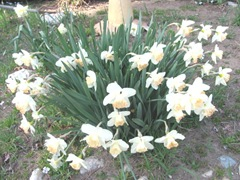 R.O.Backhouse daffodils 3.12