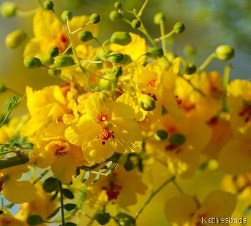 7. palo verde blooms-kab