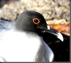 Red eye gull 2