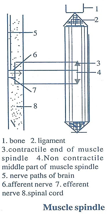 muscle-spindle