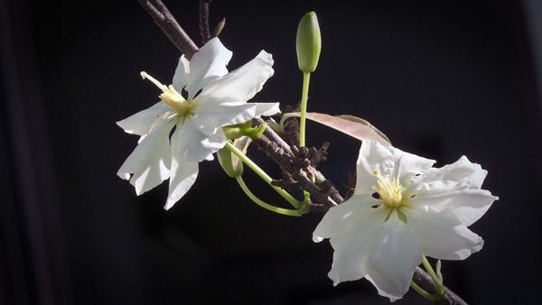 hoa mai trang