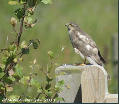 1 sparrowhawk-1