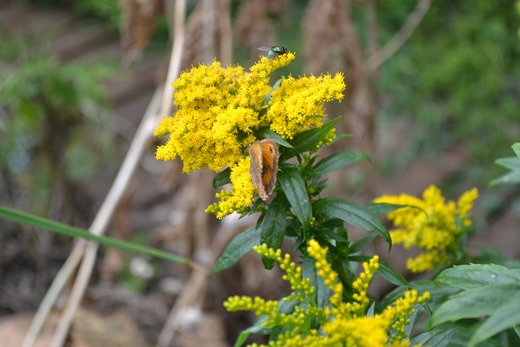 A Gatekeeper sharing a Golden Rod flower head with a Green Bottle Fly or Blow Fly - Phaenicia sericata or Lucilia sericata