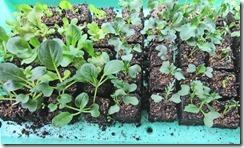 Brassica-and-lettuce