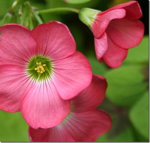 garden-oxalis-aug08