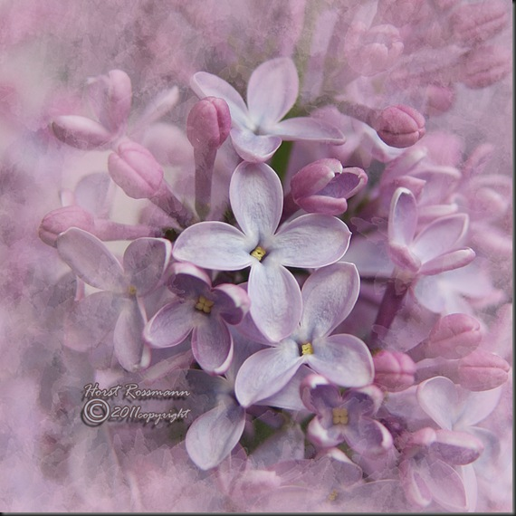 Lilac Lilac11 copy