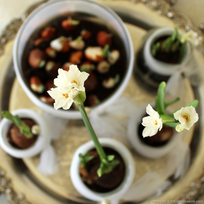 Paperwhites in Jars via homework ~ carolynshomework (11)