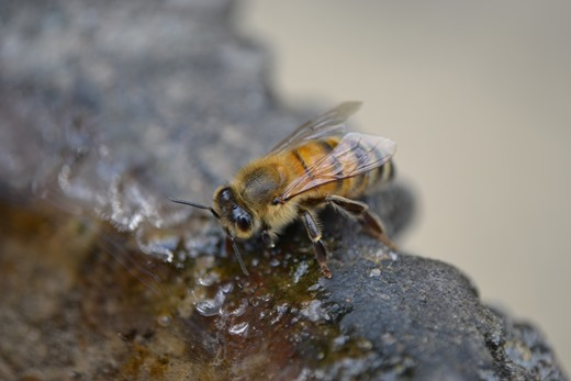 Bee - Buckfast honey bee - sipping water - close-up at stone water hole