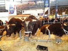 2015.02.26-077 vache rouge des prés