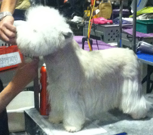 Westhighland White Terrier aka Westie being groomed