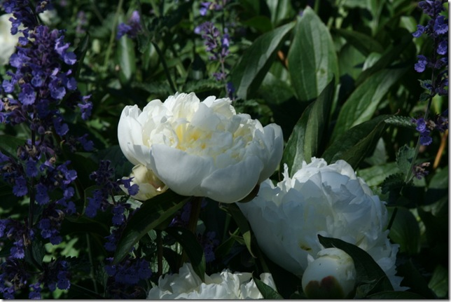 Peony - rose garden
