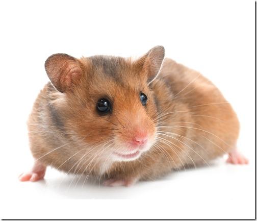 hamster grande imagen (10)