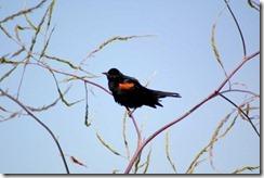 Blackbird-7
