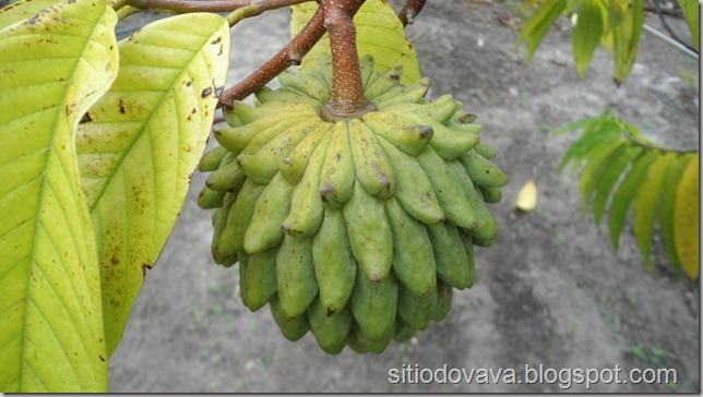fruto da condessa