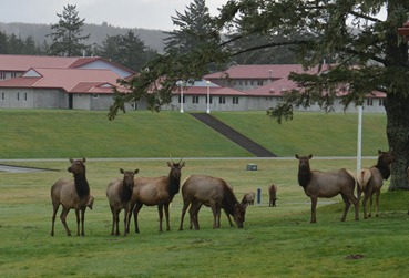 Roosevelt Elk outside out window at Camp Rilea