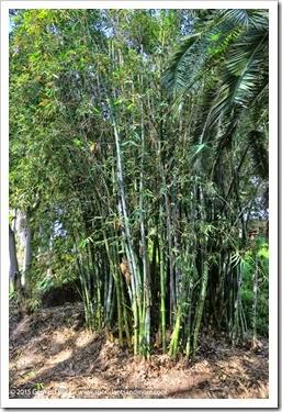150325_SDBG_0078_Guadua-angustifolia