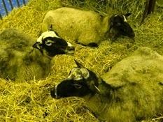 2015.02.26-026 mouton Romanov