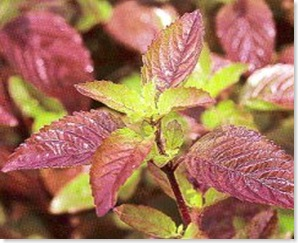 Red Tulsi