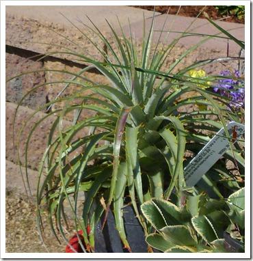 110430_UCD_Arboretum_plant_sale_14