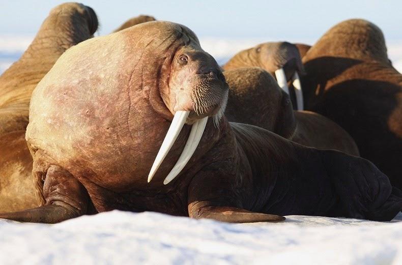 walrus-ashore-alaska-5
