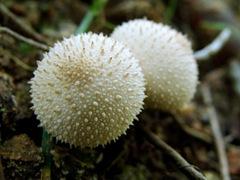2 Lycoperdon perlatum
