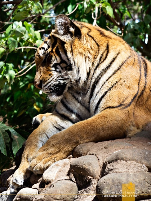 Tiger at Rest at Subic's Zoobic Safari