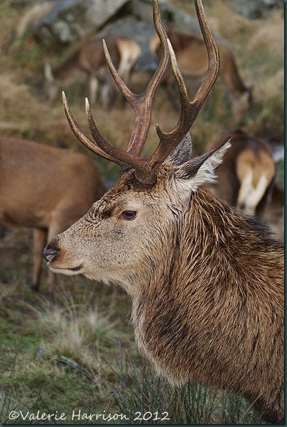 31-red-deer
