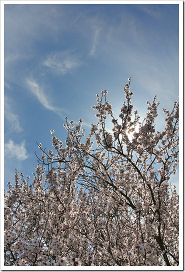 120222_prunus6