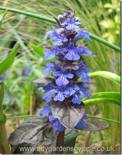Ajuga (Bugle common name)