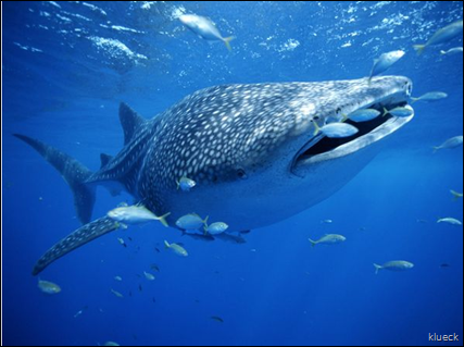 Whale Sharks   Whale Shark Pictures   Whale Shark Facts   National Geographic