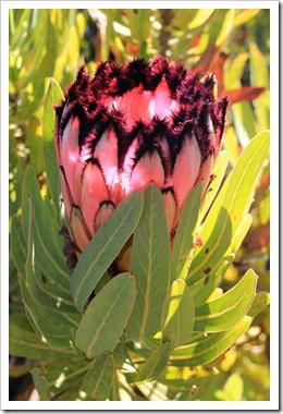 121027_UCSCArboretum_Protea-neriifolia_09