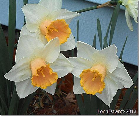 Daffodils_Pinks2