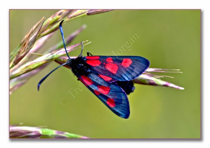 Day Fliers 8a  Five-spot Burnet