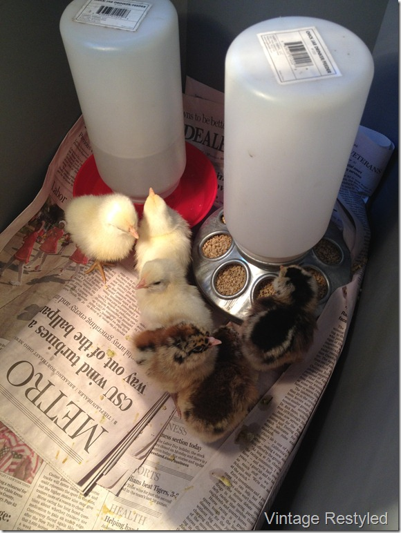 Chicks 008