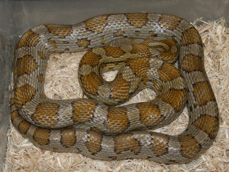 Caramel Motley Corn Snake Caramel Corn Snake Jpg