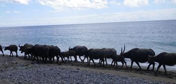 buffolos on beach