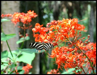 04h2 - Zebra Butterfly