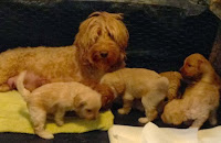 Mama Elegant Elenor with her adorable puppies. ... Born on Sept 24th.