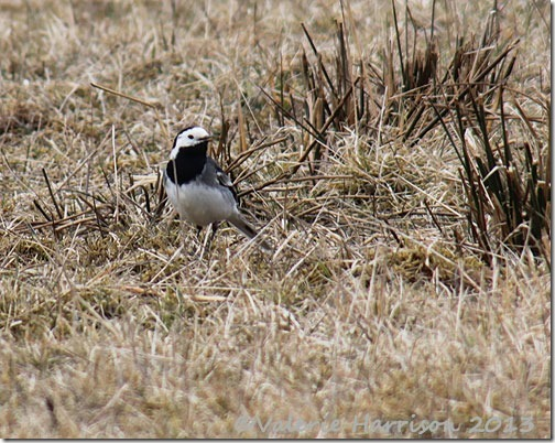 20-pied-wagtail