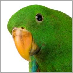 male Eclectus Parrot - Eclectus roratus