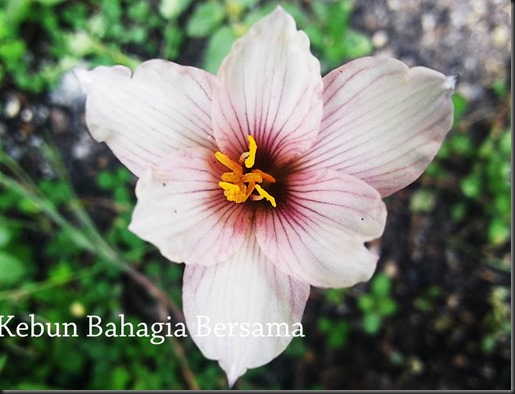 Habaranthus Roseis