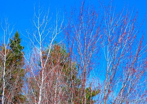 1. Poplar trees-kab