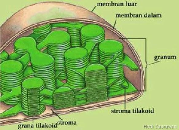 Bagian-Bagian Kloroplas