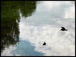 a partage black dragonflies