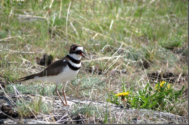 calling Killdeer